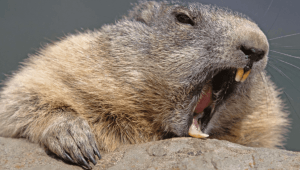 Podcast 48: Beaver Fever with Dr. Pabani!